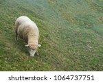 herd of sheep on green pasture. ... | Shutterstock . vector #1064737751