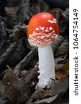 Small photo of Amanita muscaria poisonous sponge.