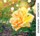 roses in the garden | Shutterstock . vector #1064765834