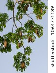 ceiba pentandra full bloom of... | Shutterstock . vector #1064771189