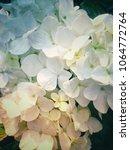 close up hydrangea in the... | Shutterstock . vector #1064772764