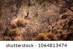 wildlife photography of goats... | Shutterstock . vector #1064813474