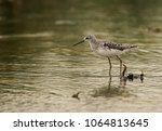 marsh sandpiper at asker marsh  ...   Shutterstock . vector #1064813645