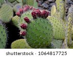Prickly Pears Fruit . Prickly...