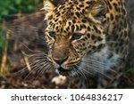 amur leopard  panthera pardus... | Shutterstock . vector #1064836217