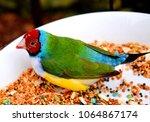 the gouldian finch  erythrura... | Shutterstock . vector #1064867174