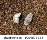 Small photo of Empty shells of Polyplacophora/ Riviera Maya, Yucatan, Mexico