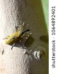 Small photo of Close-up of a Lixus Angustatus, in Spanish is (Gorgojo de las malvas)