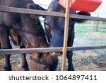 Inquisitive Beef Cow Peering...