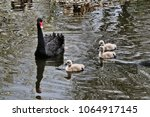 A Black Swan With Cygnets At...