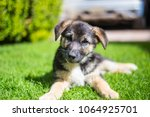 Stock photo german shepherd puppy german in the garden 1064925701