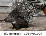 porcupine   the prickliest of... | Shutterstock . vector #1064951009
