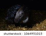 porcupine   the prickliest of... | Shutterstock . vector #1064951015