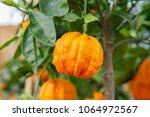 citrus aurantium corrugato or... | Shutterstock . vector #1064972567