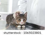 cat lies on the operating table ... | Shutterstock . vector #1065023801