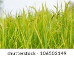 Rice field in farmland food of Asia - stock photo