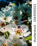 nice plum flowers on branch | Shutterstock . vector #1065050321