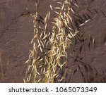 Small photo of Dried Avena fatua common wild oats growing in spring and summer against a brown painted concrete wall is a pasture weed the seeds when ripe eaten by the larvae of some Lepidoptera species .