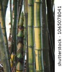 Small photo of Bamboo shoot in the bamboo forest.