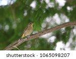 tiny savannah sparrow bird... | Shutterstock . vector #1065098207