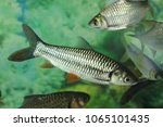 Small photo of Java barb, Silver barb