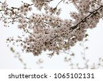 white cherry blossoms in full... | Shutterstock . vector #1065102131