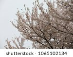 white cherry blossoms in full... | Shutterstock . vector #1065102134