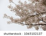 white cherry blossoms in full... | Shutterstock . vector #1065102137