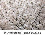 white cherry blossoms in full... | Shutterstock . vector #1065102161