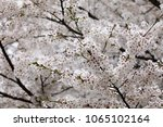 white cherry blossoms in full... | Shutterstock . vector #1065102164