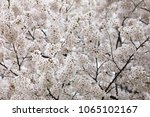 white cherry blossoms in full... | Shutterstock . vector #1065102167