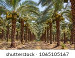 palm grove. beautiful... | Shutterstock . vector #1065105167