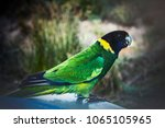 a native bird australian... | Shutterstock . vector #1065105965