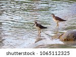 Small photo of Two shorebirds wade at the edge of a beach in the Great Bear Rainforest, British Columbia, on a summer evening.