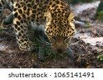 amur leopard  panthera pardus... | Shutterstock . vector #1065141491