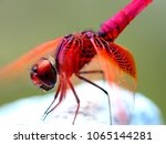 Stock photo insect red dragonfly in nature 1065144281