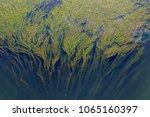 close up green seaweed | Shutterstock . vector #1065160397