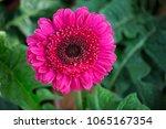 close up of pink gerbera... | Shutterstock . vector #1065167354