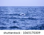 bryde's whale swimming and show ... | Shutterstock . vector #1065170309