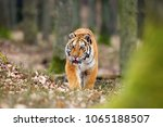 the siberian tiger  panthera... | Shutterstock . vector #1065188507