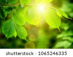 leaf on a tree in the forest. ... | Shutterstock . vector #1065246335