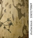 Small photo of Platan tree bark for background