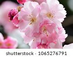 close up of cherry blossom in... | Shutterstock . vector #1065276791