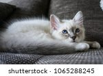 birman cat kitten with... | Shutterstock . vector #1065288245