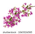 bougainvilleas isolated on white | Shutterstock . vector #1065326585