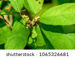 Small photo of Mallotus spodocarpus ; The vine plant that leaves, flowers, and fruits is cluster at the end of branch. properties for Anti-inflammatory and analgesic. Extracts that can inhibit cancer cells.