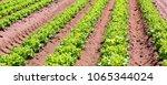intensive cultivation of...   Shutterstock . vector #1065344024