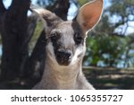 adult male wallaby looking down ... | Shutterstock . vector #1065355727