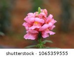 Small photo of Pink Antirrhinum magus flower in full bloom with green leaf