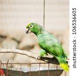 Small photo of Yellow-naped Amazon Parrot (Amazona auropalliata)